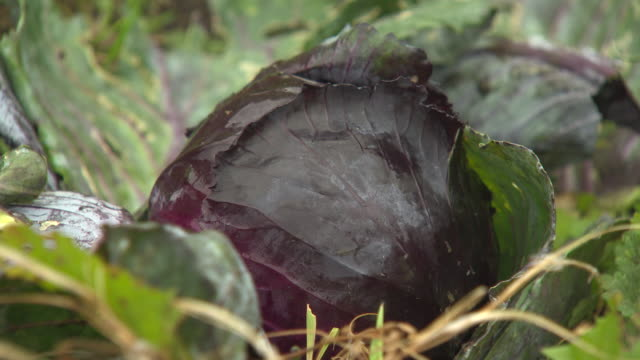 close-up of a the waxy leaves of a red cabbage as it topples very slowly to its side, uk. - cabbage stock videos and b-roll footage