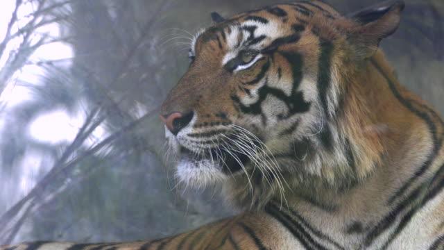 Close-up of a tiger, 4K(UHD)