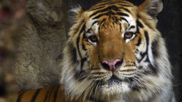 4k: close-up of a tiger face - front view stock videos & royalty-free footage