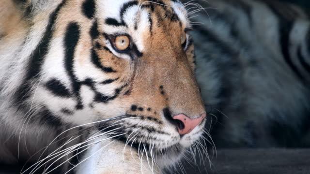 4 K : Close -up の トラの顔
