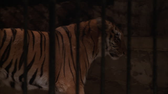 Close-up of a tiger in a cage.
