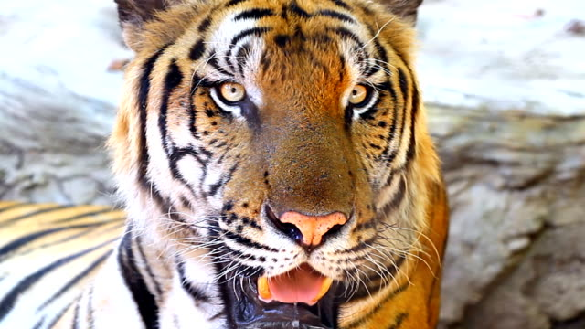 close-up of a tiger - tiger stock videos & royalty-free footage