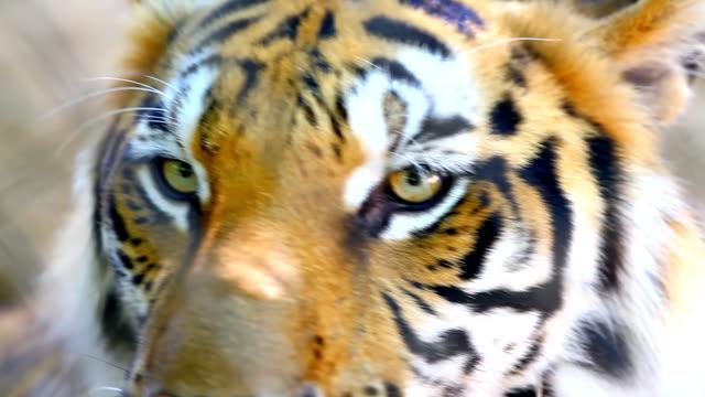 vídeos de stock e filmes b-roll de close-up de um tigre - olho de animal