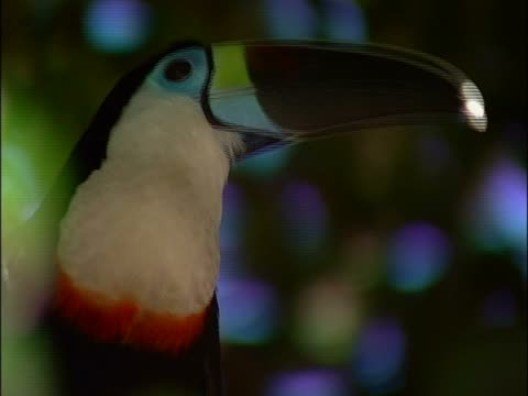 Close-up of a Toco Toucan perching on a branch