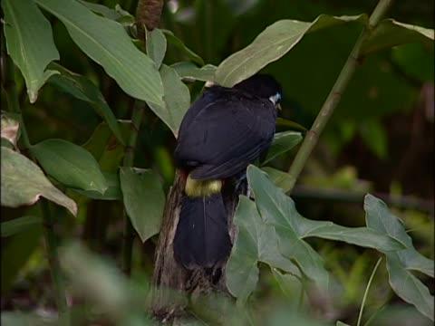 vídeos de stock, filmes e b-roll de close-up of a toco toucan perching on a branch - tucano toco