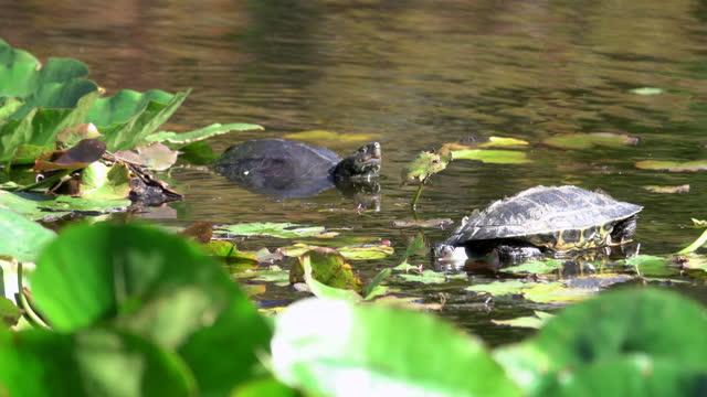 när-upp av en sköldpadda - akvatisk organism bildbanksvideor och videomaterial från bakom kulisserna