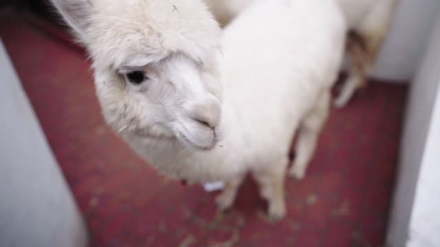 vídeos de stock e filmes b-roll de close-up of a white alpaca eating hay - visão frontal