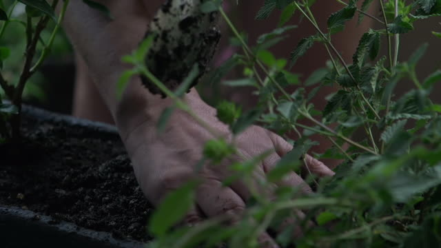 close-up of a woman's hands working soil around flowers in her urban balcony garden window box - window box stock videos & royalty-free footage