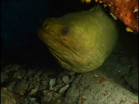 close-up of a yellow-margined moray eel in the sea - yellow margined moray eel stock videos and b-roll footage