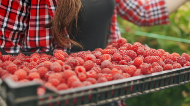 close-up of a young woman's hand picking raspberries and puts them in a box full of raspberries stock video - harvesting stock videos & royalty-free footage