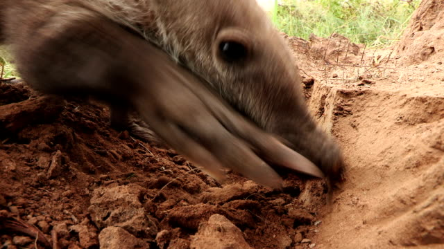 Close-up of Aardvark/African Ant bear(Orycteropus afer) feeding on termites