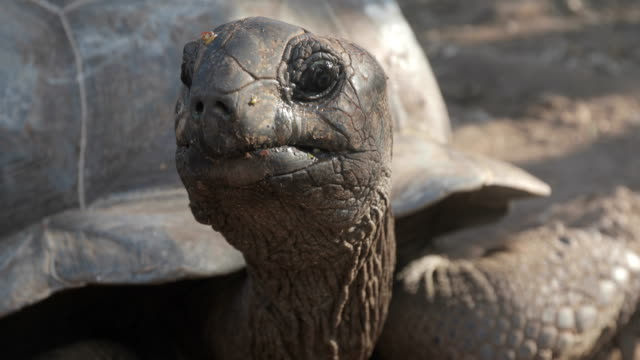 close-up of aldabra tortoise looking at camera - tortoise stock videos & royalty-free footage