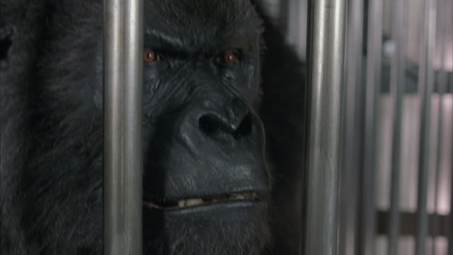 A close-up of an angry gorilla locked in a cage.