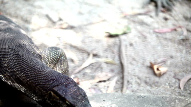 close-up of an asian water monitor lizards (varanus salvator) - water monitor stock videos and b-roll footage