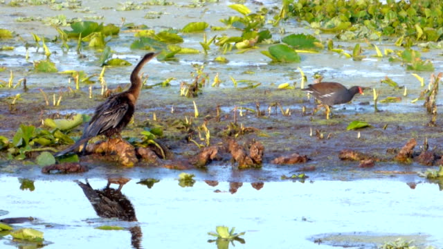 closeup of anhinga and moorhen in a swamp - water bird stock videos & royalty-free footage