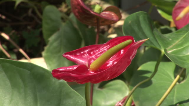 close-up of anthurium flower in a garden in hong kong china - pistil stock videos & royalty-free footage