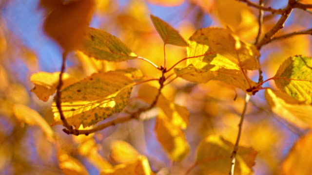 Close-up of autumn yellow leaves on tree