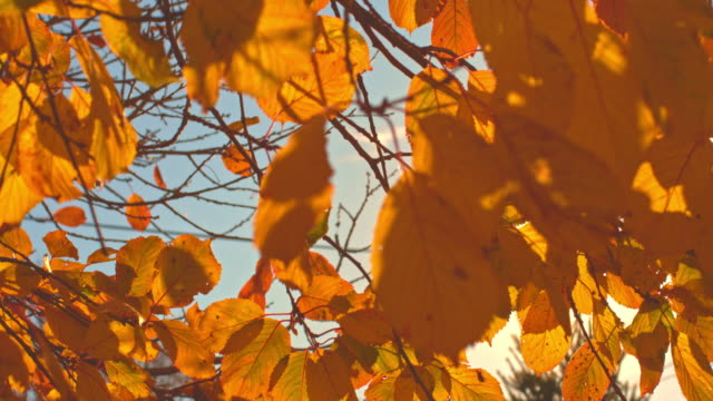 close-up of autumn yellow leaves on tree - season stock videos & royalty-free footage