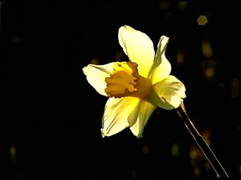 vídeos de stock e filmes b-roll de close-up of back lit daffodil - back lit
