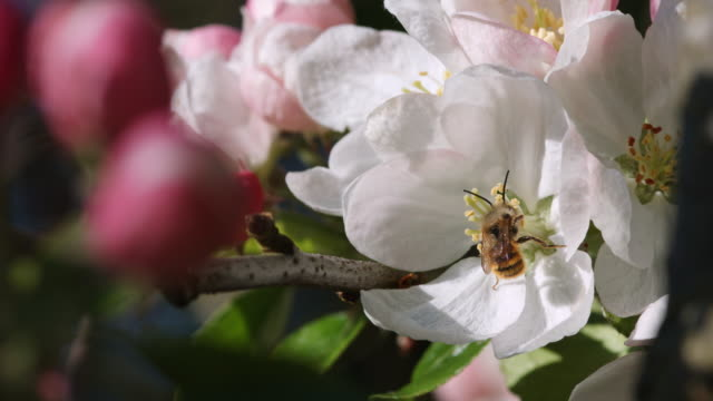 close-up of bee flying and landing on apple blossom - orchard stock videos & royalty-free footage