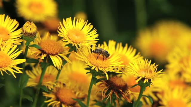 Close-up of bee on yellow Fleabane