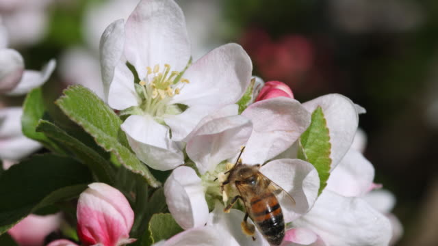 close-up of bee with pollen attached to its legs landing on apple blossom and taking off again - orchard stock videos & royalty-free footage