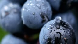 Close-up of berries of blue grapes after rain