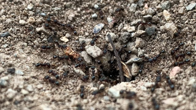 close-up of black ants going in and out of their dirt nest/colony underground outdoors - terreno video stock e b–roll