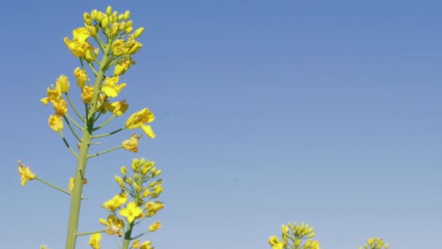 close-up of blooming yellow canola oil flower under blue sky on sunny spring day. flowering oilseed rape and crawling insects - rapeseed oil stock videos and b-roll footage