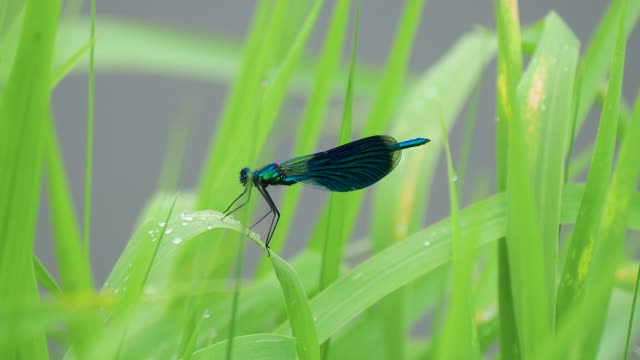 closeup of blue wing dragonfly on green leaf with raindrops - tierfarbe stock-videos und b-roll-filmmaterial
