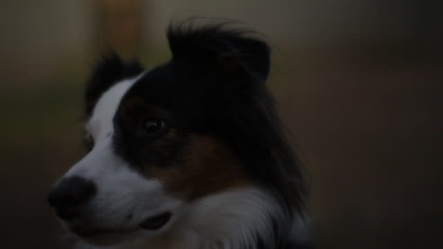 close-up of border collie with shallow depth of field - collie stock videos & royalty-free footage