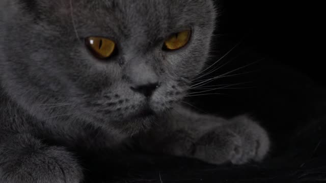 close-up of british shorthair cat turning its head in slow motion - shorthair cat stock videos and b-roll footage