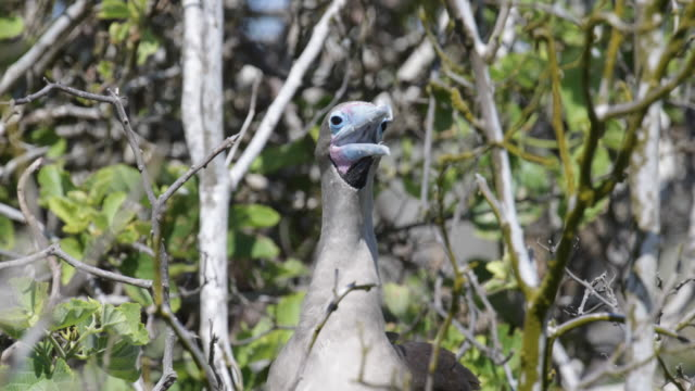 Close-up of brown red-footed Booby sitting on a tree, Isla Genovesa, Galápagos, Ecuador