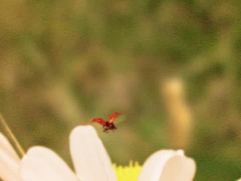 vidéos et rushes de close-up of bugs on a flower - étamine