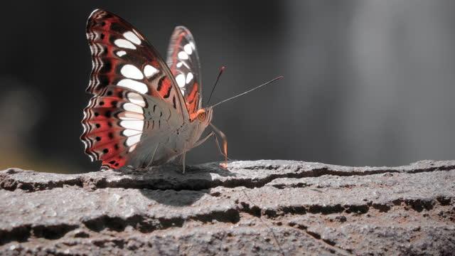 stockvideo's en b-roll-footage met cu close-up van butterfly - poreus