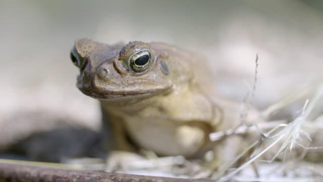 vidéos et rushes de close-up of cane toad - reptile