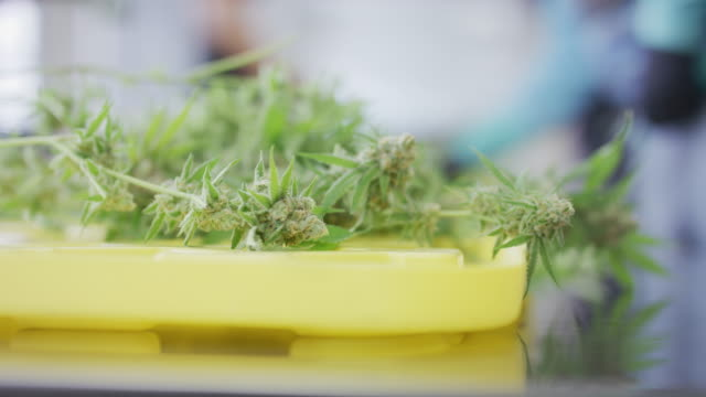 close-up of cannabis plant  on table during harvest - canapa video stock e b–roll
