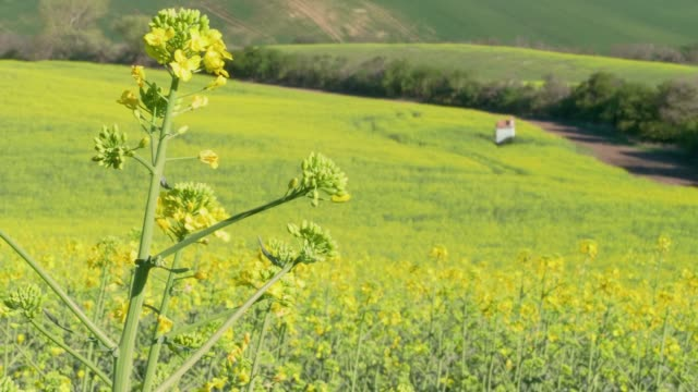 close-up of canola oil flower on light breeze on sunny spring day with yellow and green hill and small chapel in background. flowering oilseed rape - rapeseed oil stock videos and b-roll footage