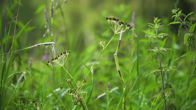 close-up of caraway and stinging nettle plants in a meadow in summer - nettle stock videos & royalty-free footage