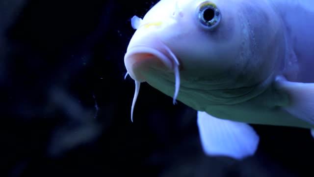 Close-up of Carp Fish Swimming in Aquarium
