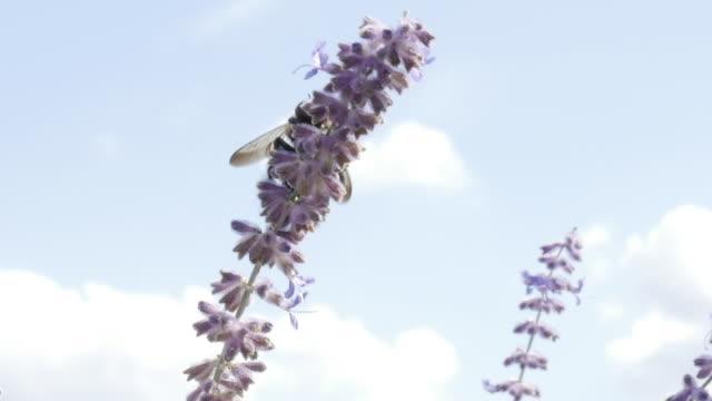 closeup of carpenter bee and russian sage flower - セージブラッシュ点の映像素材/bロール