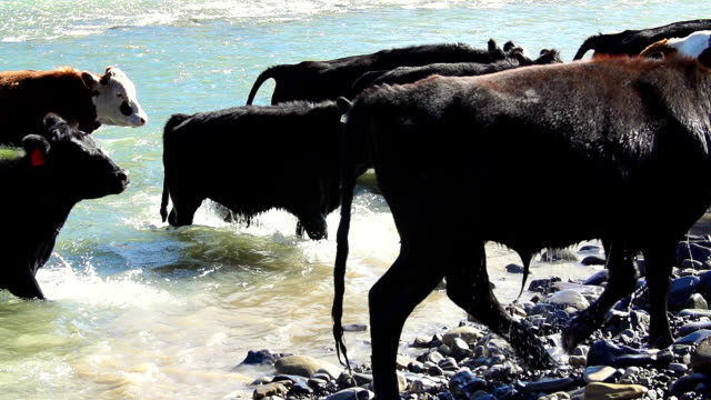 close-up of cattle herd crossing river in slow motion - cattle drive stock videos & royalty-free footage