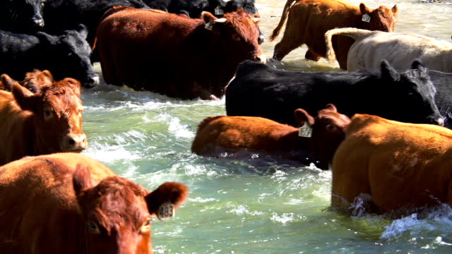 close-up of cattle herd quickly crossing river - herd stock videos & royalty-free footage