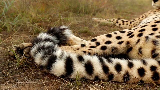 close-up of cheetah(acinonyx jubatus) tail flicking - tail stock videos & royalty-free footage