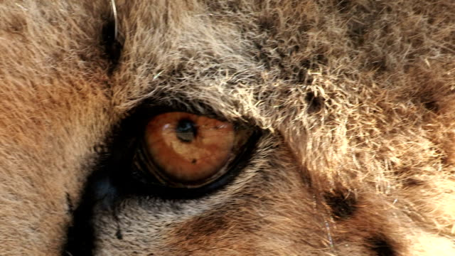 close-up of cheetah's eyes and tear marks which run from corner of the eye down face - animal head stock videos & royalty-free footage