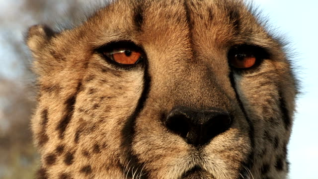 close-up of cheetah's eyes and tear marks which run from corner of the eye down face - djurhuvud bildbanksvideor och videomaterial från bakom kulisserna