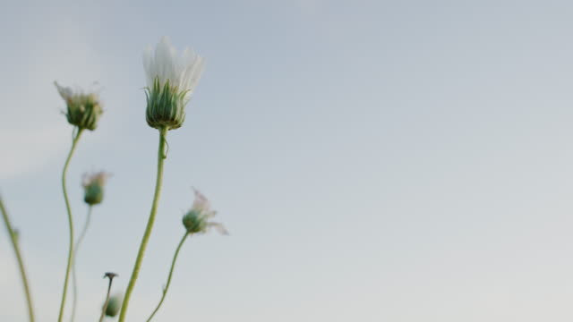close-up of closed white desert daisies swaying gently in the breeze outdoors under a clear sky at sunset - petal stock videos & royalty-free footage