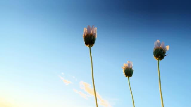vidéos et rushes de close-up des marguerites fermées du désert blanc se balançant doucement dans la brise à l'extérieur sous un ciel clair au coucher du soleil - fleur sauvage