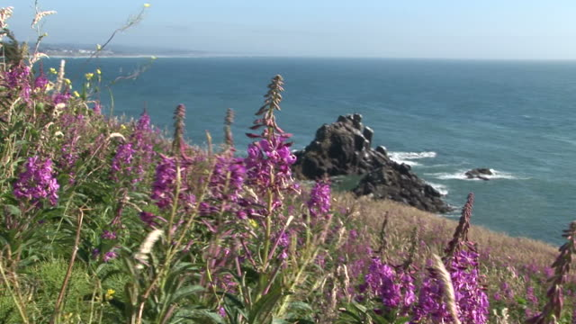 close-up of coast flowers in oregon coast united states - pistil stock videos & royalty-free footage