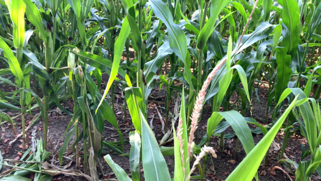 closeup of corn plant with its silk and tassel - tassel stock videos & royalty-free footage